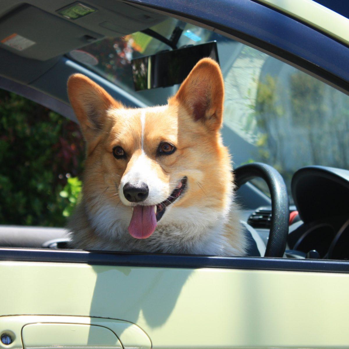 車の窓から顔を出す犬