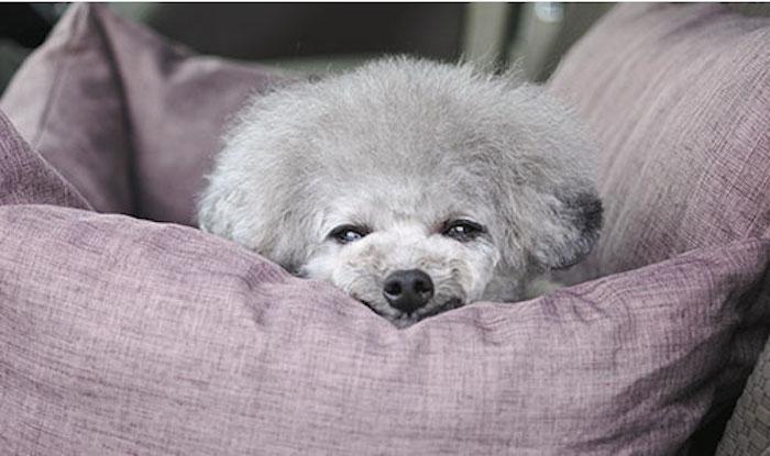 ベッドで眠そうにする犬