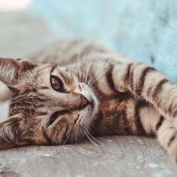 猫がふみふみする理由とふみふみしない猫との違いとは?