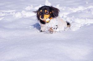 雪の中を走るミニチュアダックス