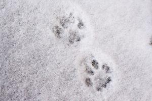 雪の上についた犬の足跡