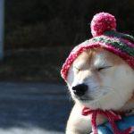 毛糸の帽子をかぶる柴犬