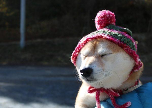 真冬なのに夏毛に?!季節外れの換毛の理由とお手入れ・柴犬の防寒対策