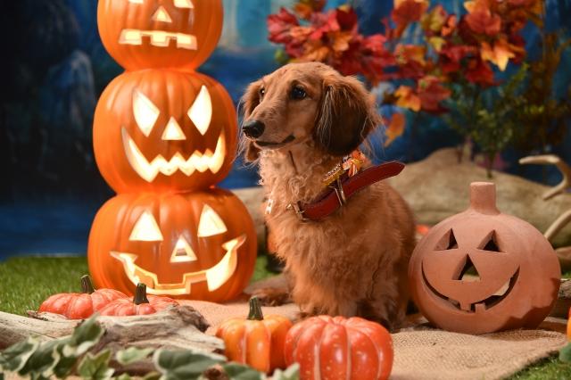 ハロウィン飾りと犬