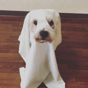 おばけの仮装をする犬