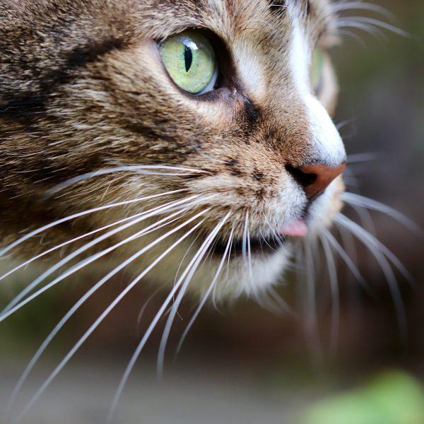 猫が舌をしまい忘れてしまう理由とは?可愛いけど注意が必要なケースも!